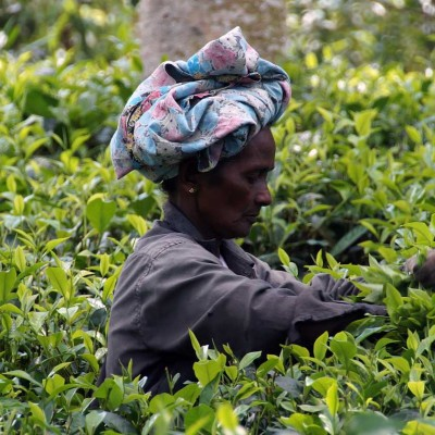 Our expert tea pickers pluck the freshest tea leaves across the world for a delicious, smooth and rich taste of home